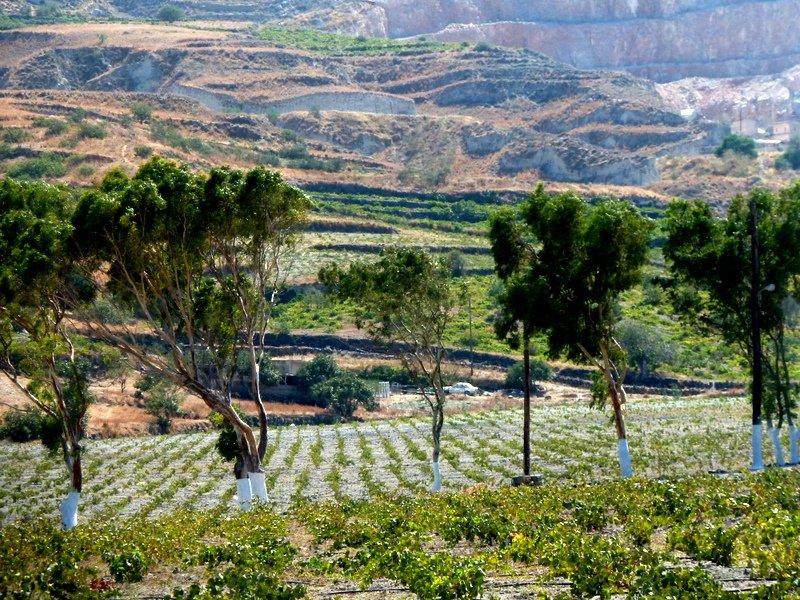 Vines_in_field