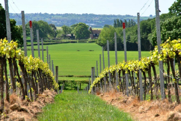 Woodchurch wine, spring view